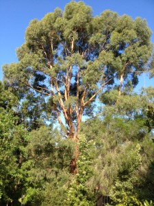 Gum tree I planted about 20 years ago when it was only a few cm high.