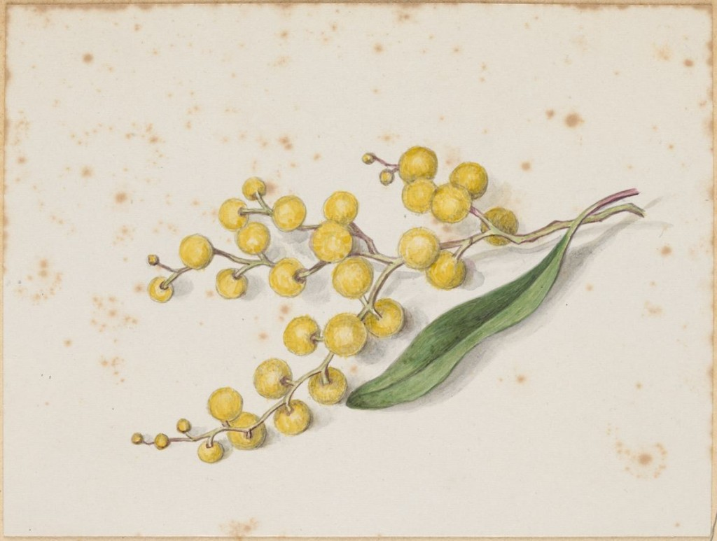 Wattle by Caroline Peebles. ca. 1870-ca. 1910 http://handle.slv.vic.gov.au/10381/141407