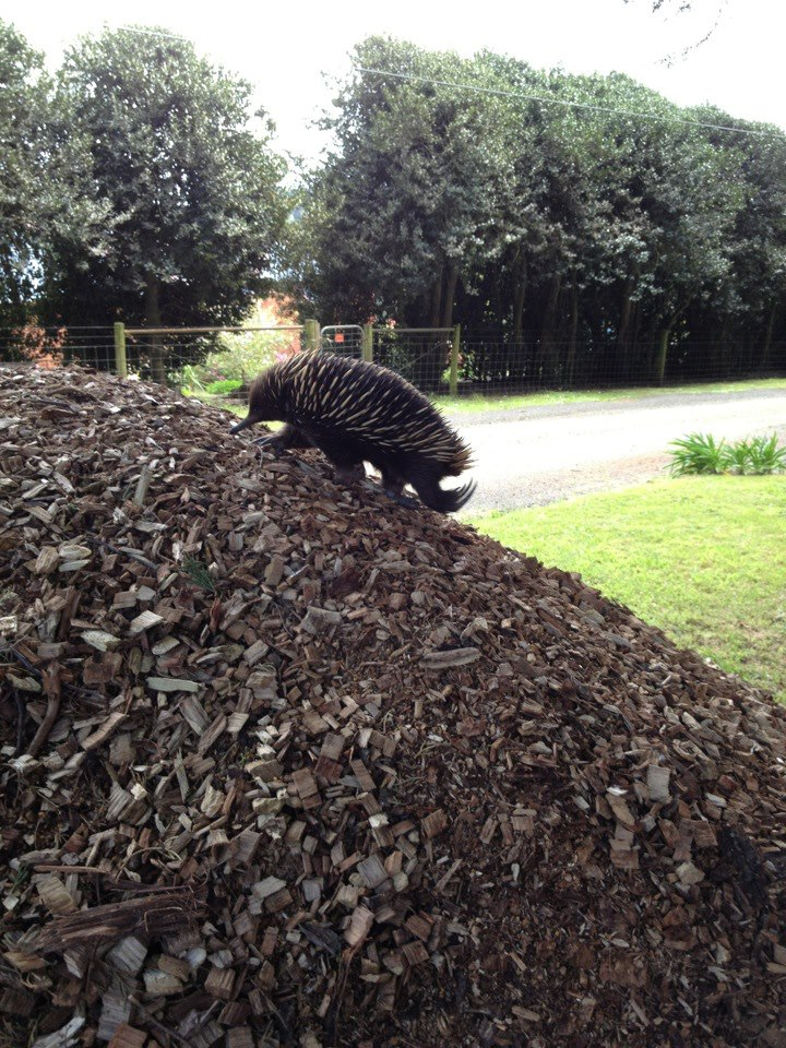 Echidna climbing up the mulch heap on my nature strip